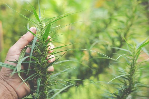 Farmers hold marijuana (cannabis) trees on their farms. Free Photo