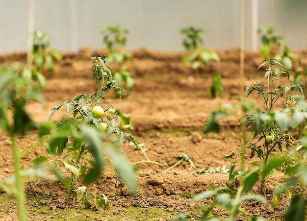 Концепция сельского хозяйства с томатами Бесплатные Фотографии