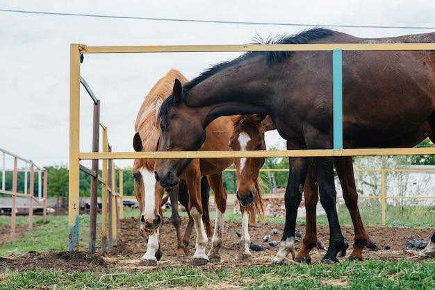 牧場で美しく健康な馬に餌をやる。畜産と馬の飼育。 Premium写真