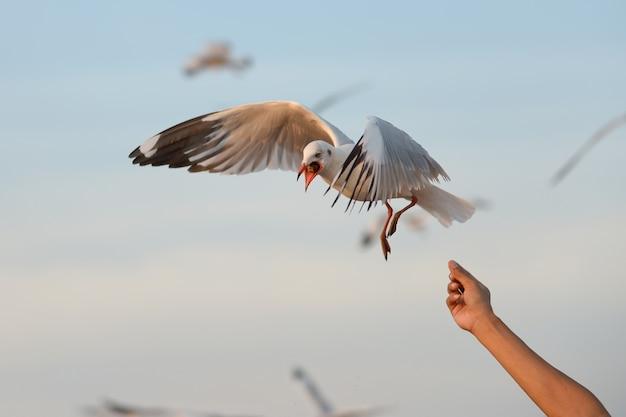 Feeding seagull on hand Premium Photo
