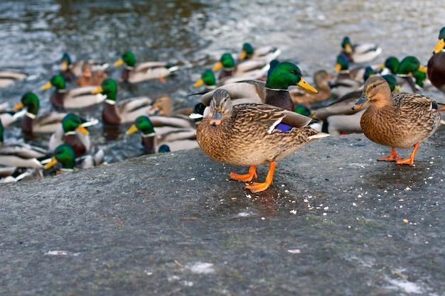 春のアヒルに餌をやる。湖の岸にアヒル。 Premium写真