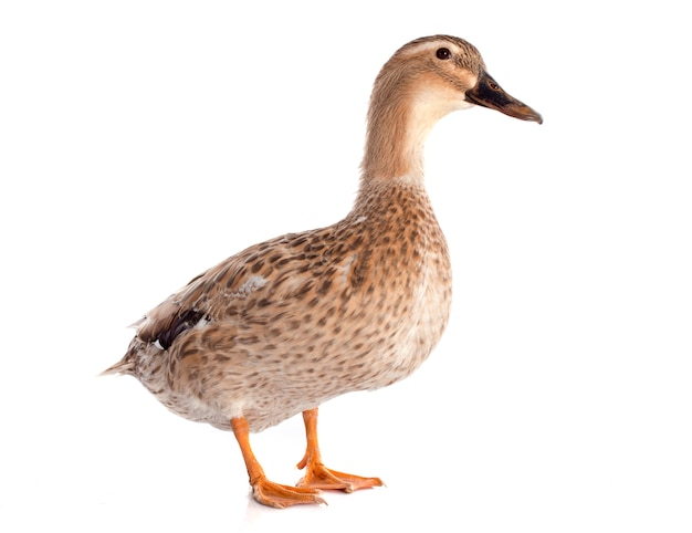Female duck Premium Photo