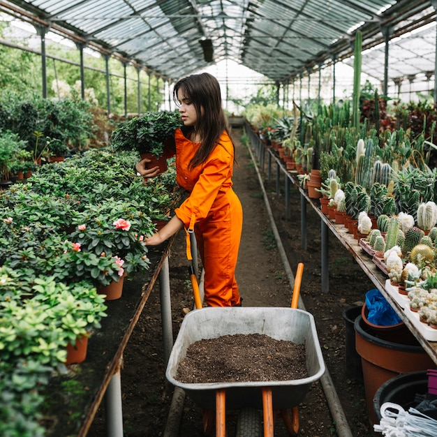 Female gardener arranging potted plants in greenhouse Free Photo