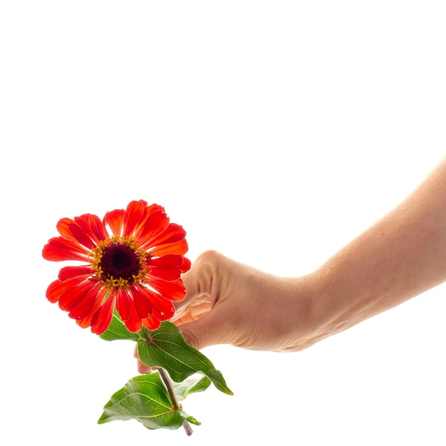 A female hand holding a blossoming zinnia flower isolated as a gift and symbol of love concept Premium Photo
