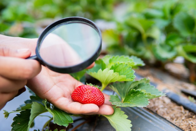 Female hand holding magnifying glass checking strawberry plant in organic farm. Premium Photo