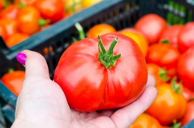 Female hand holds red tomato, harvesting. photo Premium Photo