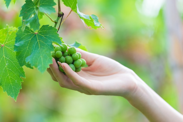 Female hand touching grape on tree Free Photo