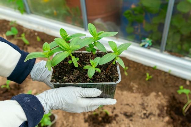 Женские руки сажают саженцы циннии в почву. концепция сельского хозяйства и садоводства. Premium Фотографии