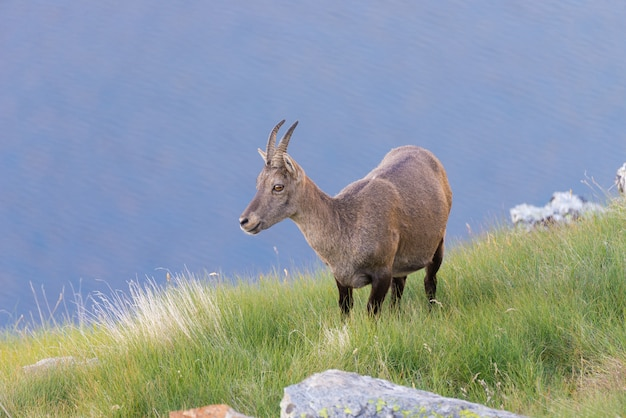 Female ibex perched on rock on the italian french alps. Premium Photo