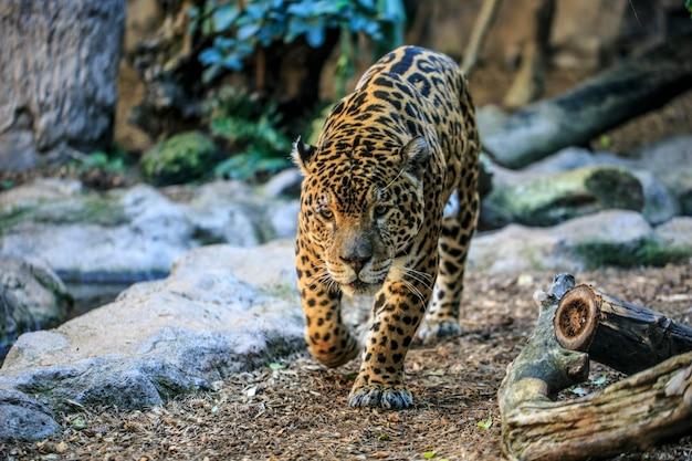 動物園のメスのヒョウ Premium写真