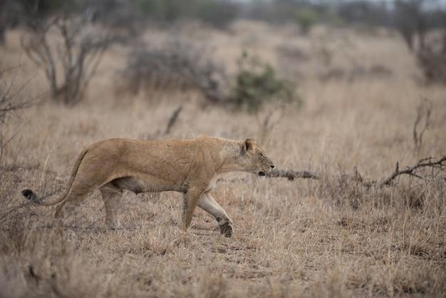 Leone femminile a caccia di prede Foto Gratuite