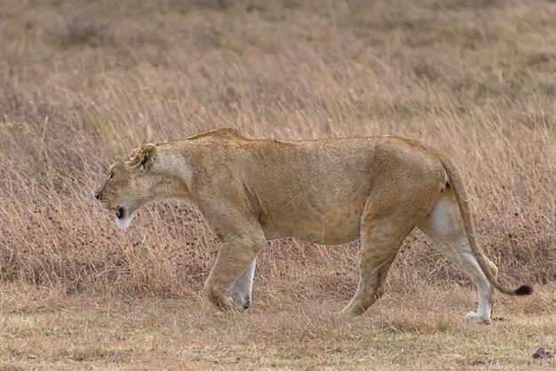 昼間に芝生のフィールドを歩く雌ライオン 無料写真