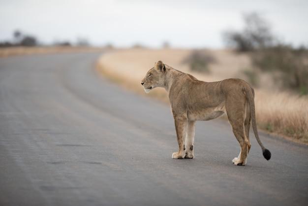 道を歩いている雌ライオン 無料写真