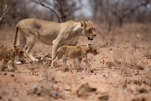 Лев гуляет со своими детенышами Бесплатные Фотографии