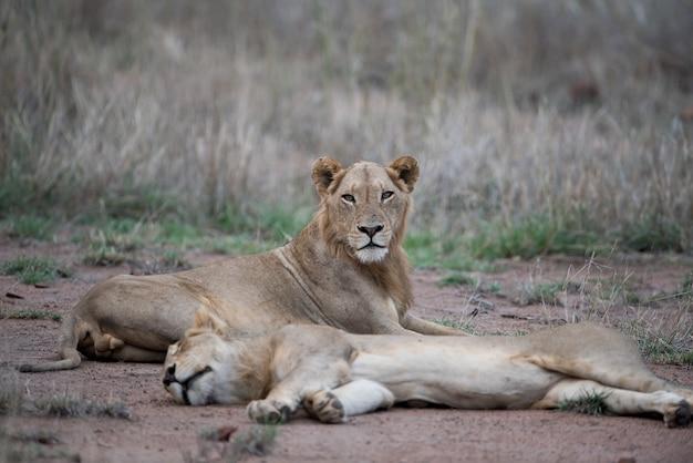 ぼやけた背景で地面に休んでいる雌のライオン 無料写真