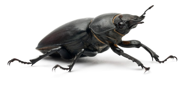 Самка lucanus cervus - самый известный вид жука-оленя Premium Фотографии
