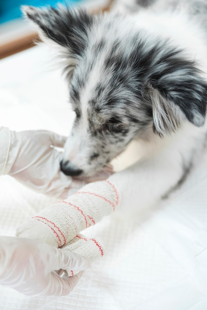 Female veterinarian applying white bandaged on dog's paw and limb Free Photo