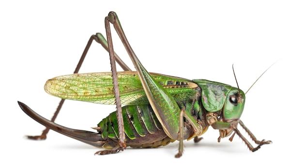 Самка бородавки (decticus verrucivorus) представляет собой куст-крикет Premium Фотографии