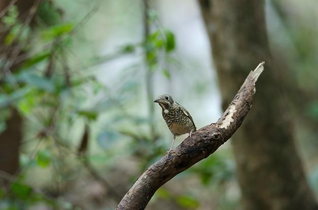 Female of white-throated rock thrush (monticola gularis) in nature thailand Premium Photo