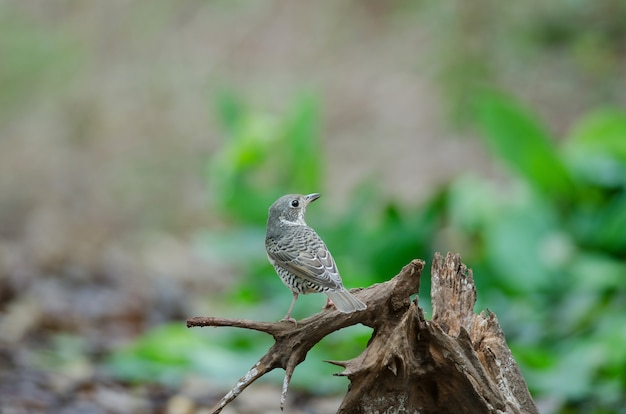 Female of white-throated rock thrush (monticola gularis) in nature thailand Premium Photo