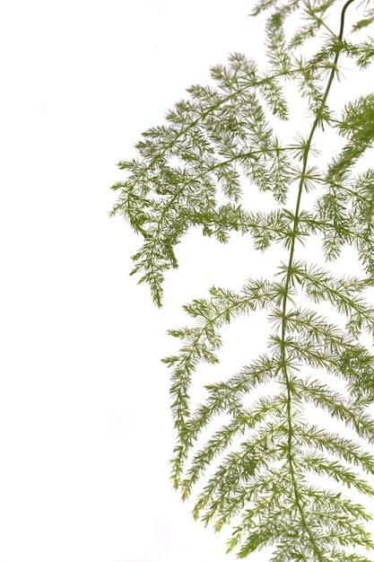 Fern asparagus garden plant Premium Photo