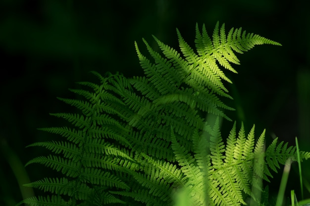 Ferns leaves green foliage. natural floral fern background in sunlight. Premium Photo