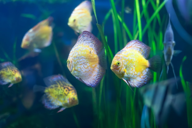 Few discus fish Free Photo