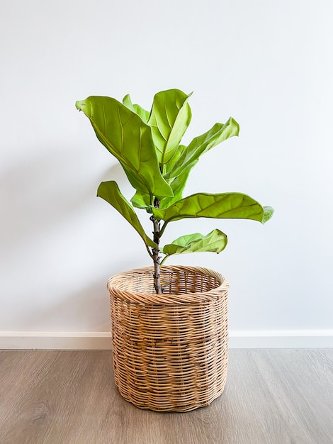 Ficus lyrata tree in a pot stands on a wooden floor Premium Photo