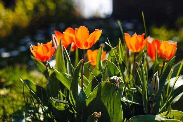 Field of beautiful orange petaled tulips Free Photo