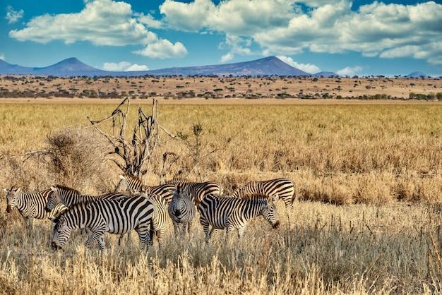Поле, покрытое зеленью, в окружении зебр под солнечным светом и голубым небом Бесплатные Фотографии
