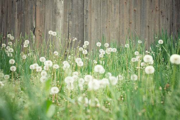 Field of dandelions. amazing field with white dandelions at sunset. Premium Photo