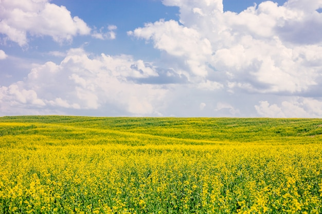 Field of flowering rape against blue sky with clouds. Premium Photo