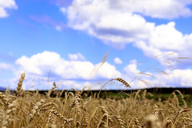 Field of golden wheat under the blue sky and clouds. ripe wheat at sunset. harvest. Premium Photo
