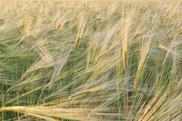Field of green wheat Premium Photo
