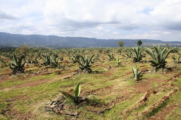 Поле плантации агавы под красивым облачным небом Бесплатные Фотографии