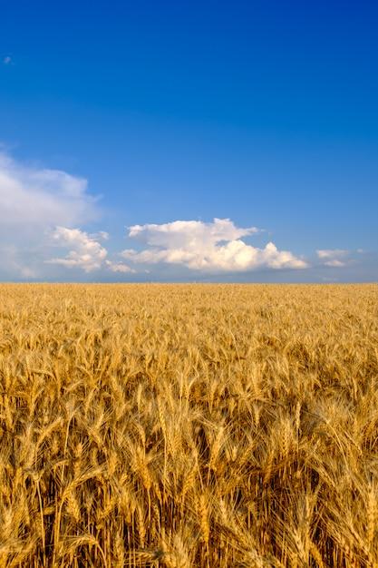 Поле золотой пшеницы на фоне голубого неба с белыми облаками. концепция сельского хозяйства и сельского хозяйства, копировальное пространство, вертикальная ориентация Premium Фотографии