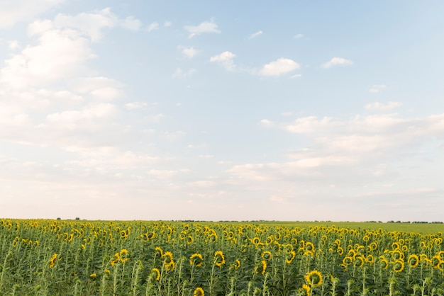 Поле подсолнухов растений с голубым небом летом Бесплатные Фотографии