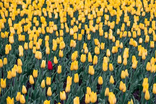 黄色のチューリップと1つの赤いチューリップのフィールド。黒い羊、部外者の概念:黄色の花のフィールドに1つの赤い花。 Premium写真