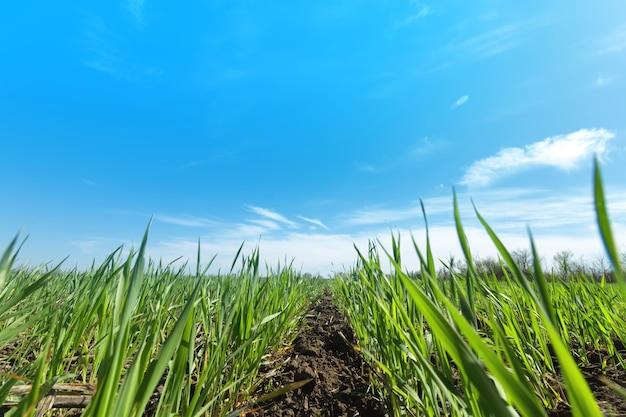 Поле молодой пшеницы / молодые ростки пшеницы сельское хозяйство Premium Фотографии
