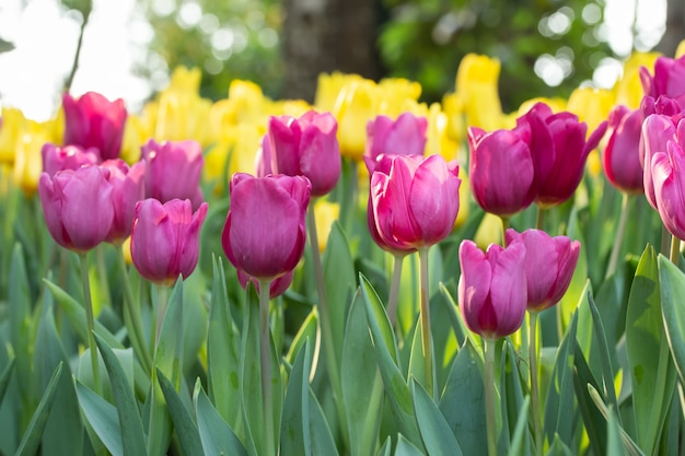 Field of pink and yellow tulips in spring day with blur natural. colorful tulips flowers in spring blooming blossom garden. Premium Photo