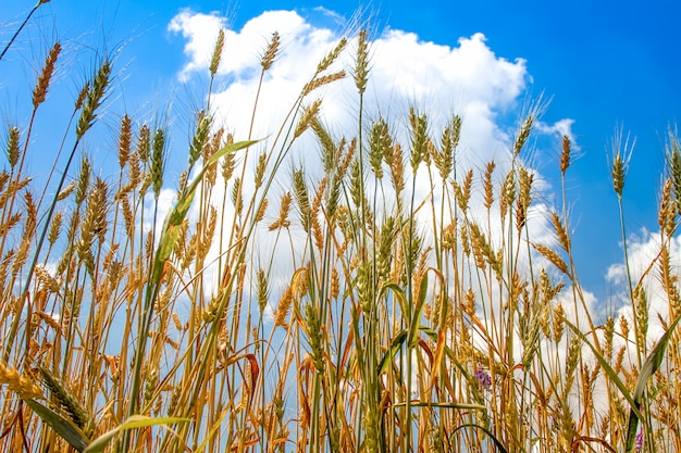 Field of ripened golden wheat harvest against a blue cloudy sky Premium Photo