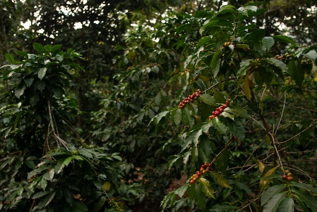 グアテマラのぼやけた壁で日光の下で木の枝にコーヒー豆のフィールド 無料写真