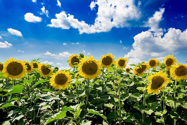 Field with sunflowers against the blue sky. beautiful landscape Premium Photo