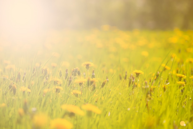 Field with yellow dandelions, a panoramic background of nature Premium Photo