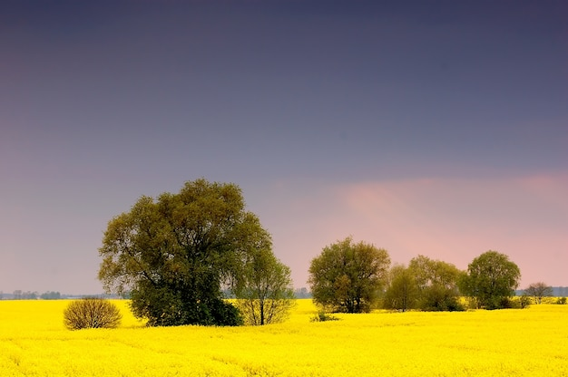 Field of yellow flowers with trees Free Photo