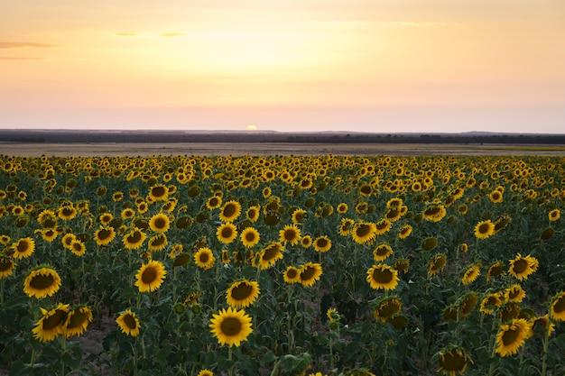 Field of yellow sunflowers Premium Photo