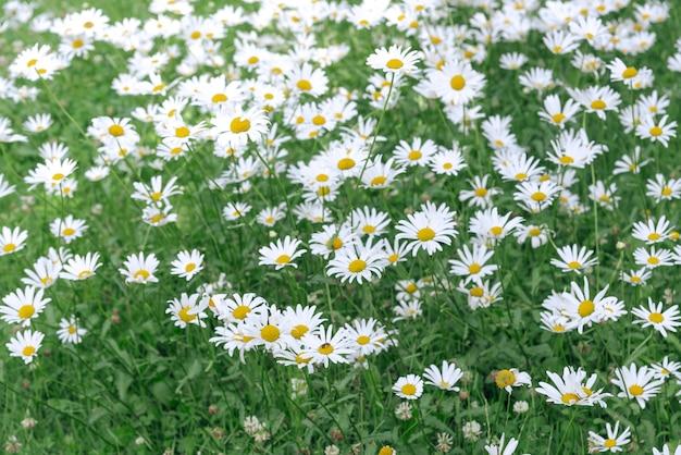 Field цветок стоцветов в саде для предпосылки лета. Premium Фотографии