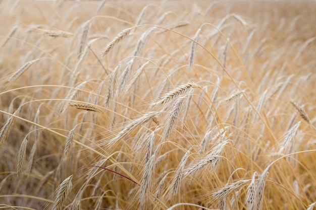 Fields of wheat at the end of summer fully ripe Premium Photo
