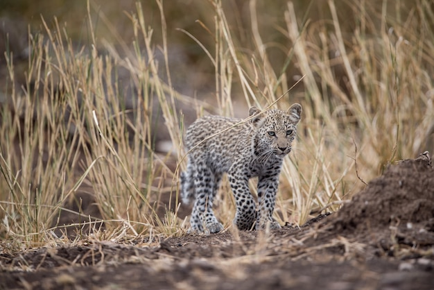 Fierce-looking african baby leopard with a blurred background Free Photo