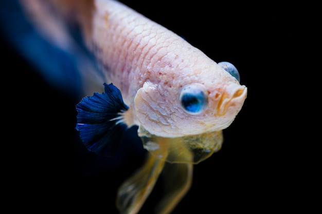 Fighting fish (betta splendens) Premium Photo